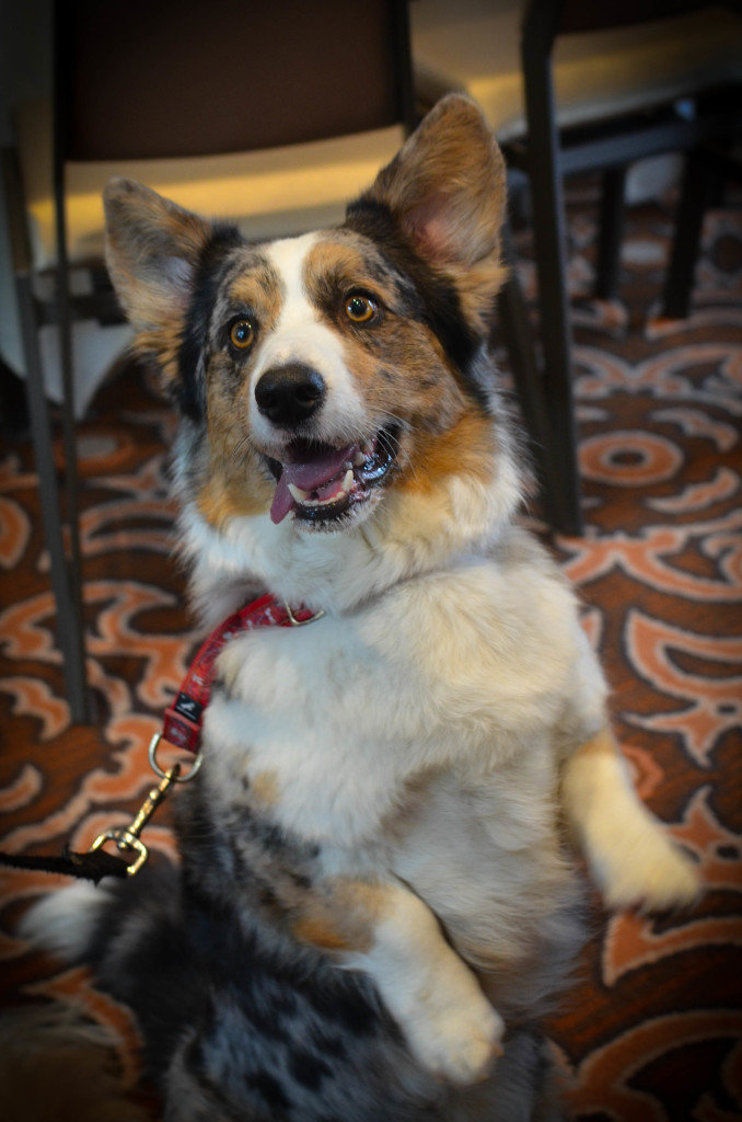 Dewi the Corgi: I Still Want More Puppies