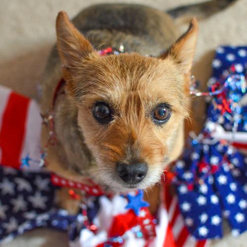 Patriotic Tavish via wantmorepuppies.com