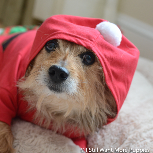 Santa Tavish via wantmorepuppies.com